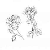 Vector Rose floral botanical flowers. Black and white engraved ink art. Isolated rose illustration element.