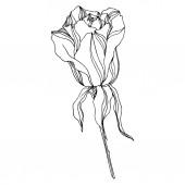 Fotografie Vektorrosen florale botanische Blumen. Schwarz-weiß gestochene Tuschekunst. Isolierte Rose als Illustrationselement.