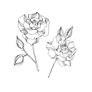 Vector Rose floral botanical flowers. Wild spring leaf wildflower isolated. Black and white engraved ink art. Isolated rose illustration element on white background. clip art vector