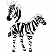 Vector Exotic zebra wild animal isolated. Black and white engraved ink art. Isolated animal illustration element.