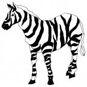 Vektor Egzotikus zebra vadállat izolálva. Fekete-fehér vésett tinta művészet. Elszigetelt állati illusztrációs elem.