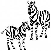 Vektor Exotická zebry divoké zvíře izolované. Černobílý rytý inkoust. Izolovaný prvek ilustrace zvířat.