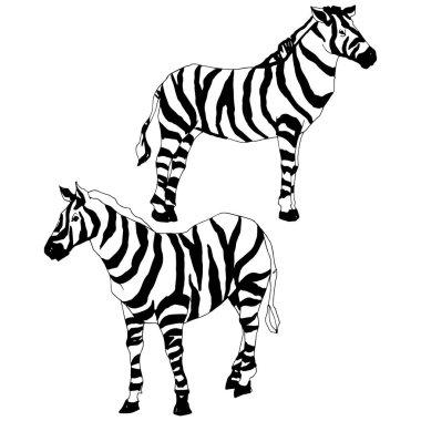 Vector Exotic zebra wild animal isolated. Black and white engraved ink art. Isolated animal illustration element on white background. stock vector