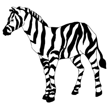 Vector Exotic zebra wild animal isolated. Black and white engraved ink art. Isolated animal illustration element on white background. clip art vector