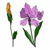 Vektorové květinové botanické květiny Iris. Černobílý rytý i