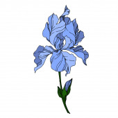 Vector Iris floral botanical flowers. Black and white engraved i