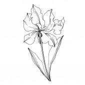 Vektor Iris virágos botanikai virágok. Fekete-fehér vésett i