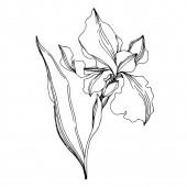 Vektor-Iris florale botanische Blumen. schwarz und weiß eingraviert i