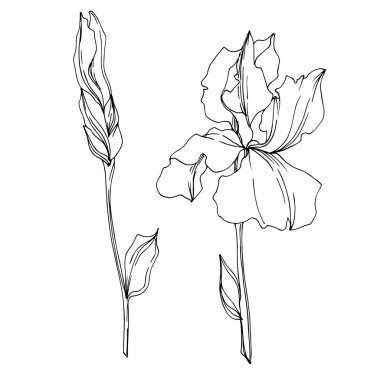Vector Iris floral botanical flowers. Wild spring leaf wildflower isolated. Black and white engraved ink art. Isolated irises illustration element on white background. stock vector