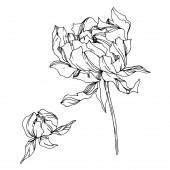 Vektor-Pfingstrose blühende botanische Blumen. Schwarz-weiß graviert