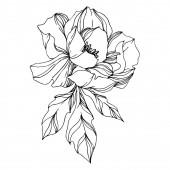 Vektor bazsarózsa virágos botanikai virágok. Fekete-fehér vésett
