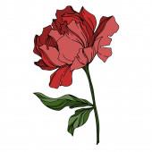 Vektor Pivoňka květinové botanické květiny. Černobílý rytý