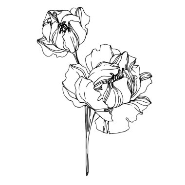 Vector Peony floral botanical flowers. Wild spring leaf wildflower isolated. Black and white engraved ink art. Isolated peonies illustration element on white background. clip art vector