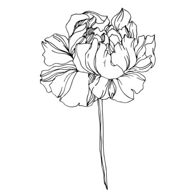 Vector Peony floral botanical flowers. Wild spring leaf wildflower isolated. Black and white engraved ink art. Isolated peonies illustration element on white background. stock vector