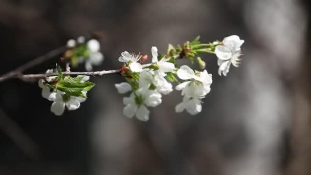 Virágzó fehér cseresznye virágok ellen a kék ég