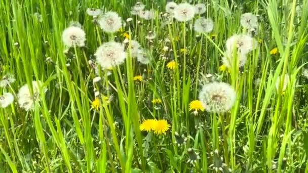 Řada rostlin, Taraxacum se obrátila ke semenům na venkovním poli houpal se ve větru.
