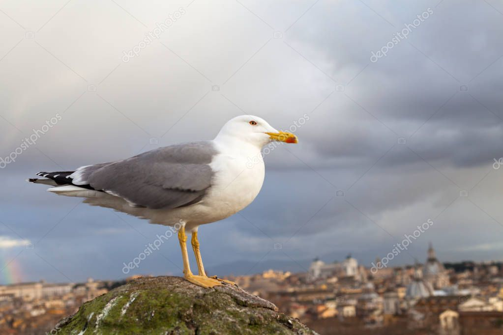 Scenic picture of a white seagull and beautiful panorama of Rome Old Town in the background, Europe, Italy