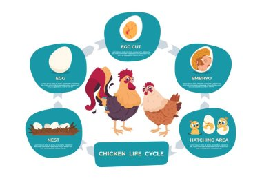 Chicken life cycle. Chicken and rooster cartoon infographic with life steps from nest egg to embryo baby and grown bird. Vector set