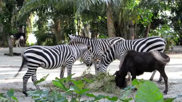 Zebry jíst trávu v zoo