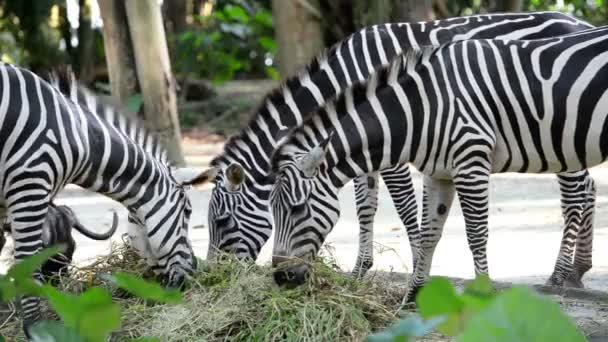 Vértes eszik fű, az állatkert zebrák