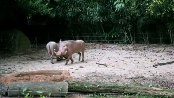 Warthog procházky v zoo
