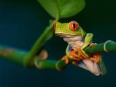 Red-eyed Tree Frog, Agalychnis callidryas, Rana Arbrea de Ojos Rojos