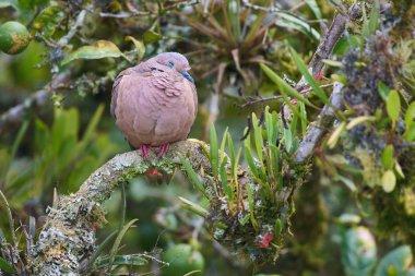 Bird Eared Dove - Zenaida auriculata - Torcaza Nagiblanca stock vector