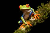 Fotografia Red-eyed Tree Frog, Agalychnis callidryas, Rana Arbrea de Ojos Rojos