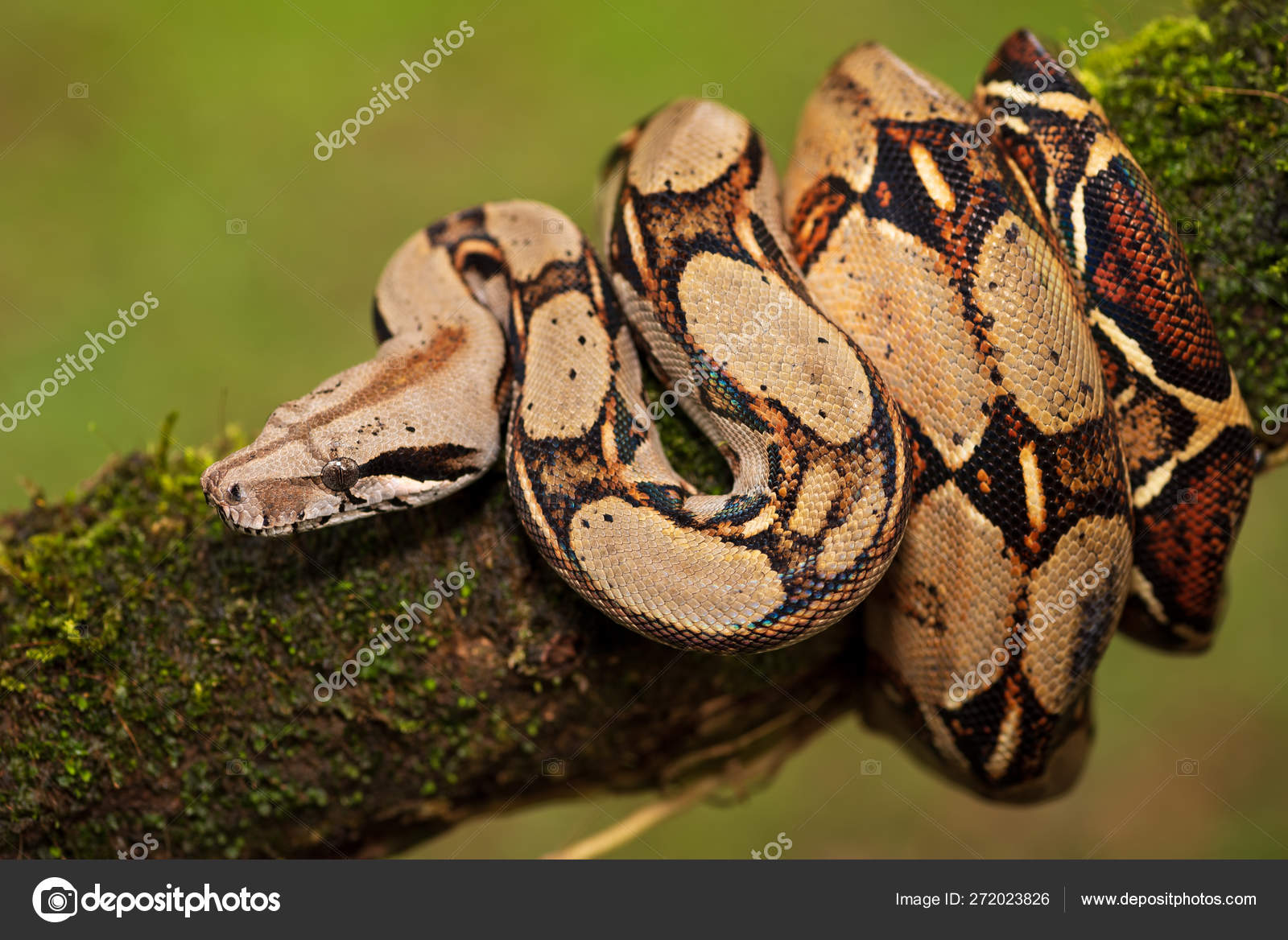 Snake Boa Constrictor Crawling Tree — Stock Photo