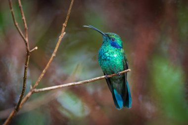 Portrait of Colibri thalassinus