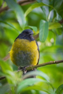 cute bird Black-and-yellow Silky-flycatcher, Phainoptila melanoxantha, Capulinero Negro y Amarillo