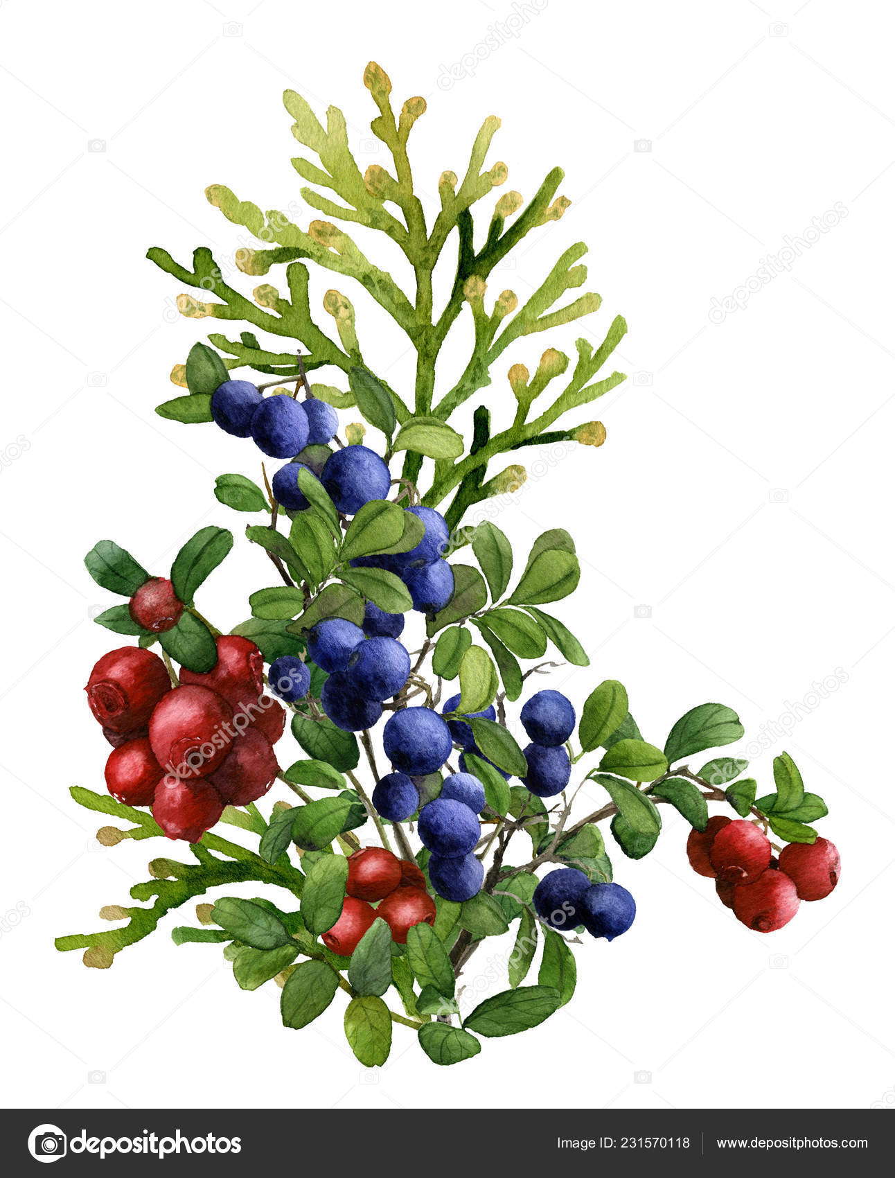 Beautiful Floral Arrangement Thuja Cowberry Blueberry Branches Hand Painted Watercolor Stock Photo Image By C Tanafortuna 231570118