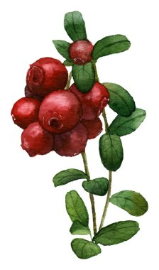 Picture of a red cowberry on the sprig hand painted in watercolor on the white background