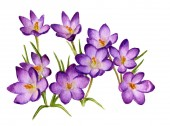 Picture of crocuses hand painted in watercolor. The symbol of spring and natures awakening.
