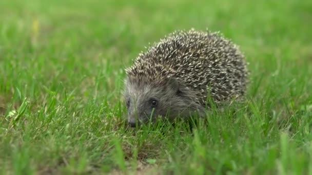 Wild hedgehog walks on green grass. Hedgehog in the nature