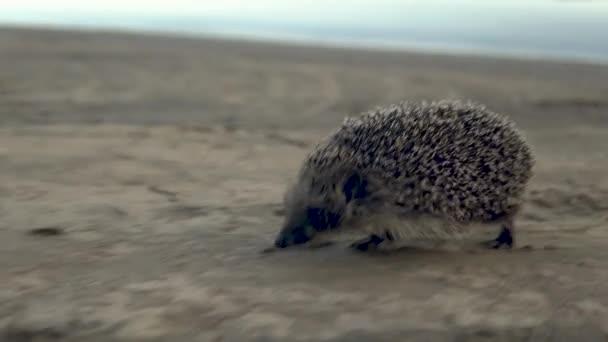 Vad sündisznó fut a homokon