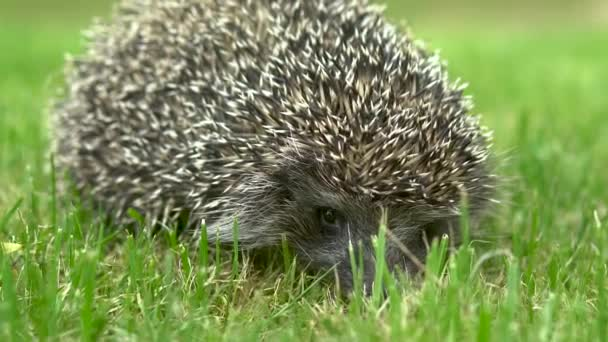 Hedgehog sits on the grass frightened