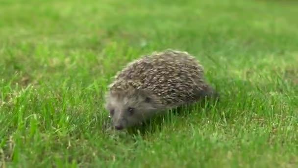 Wild hedgehog runs on green grass