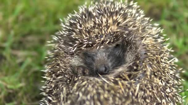 A wild hedgehog curled into a ball. Hedgehog in the nature. Close-up shot