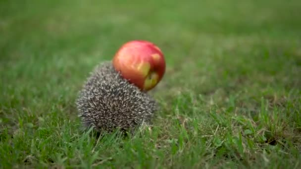 Real wild hedgehog has an apple on the back. Hedgehog on green grass