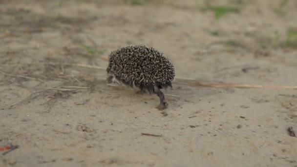 Slowly wild hedgehog runs on the sand