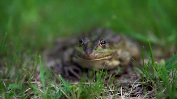 Eine große grüne Kröte sitzt auf dem Gras. Sumpfkröte aus nächster Nähe