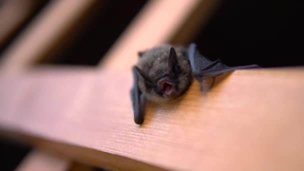 Vzteklý netopýr otevírá pomalu ústa