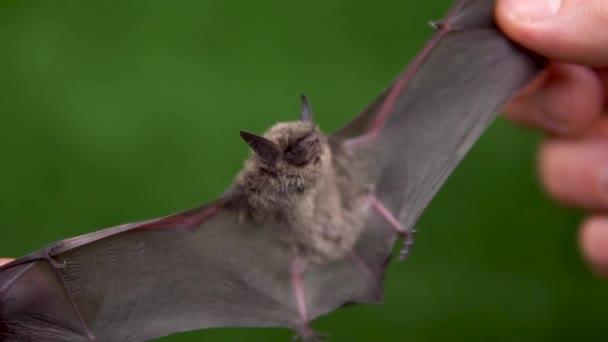 Eine Fledermaus mit offenen Flügeln in den Händen eines Mannes