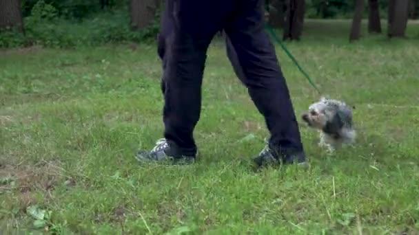 Yorkshire terrier kutyája pórázon sétál a tulajjal. Sétálj a zöld mezőn.