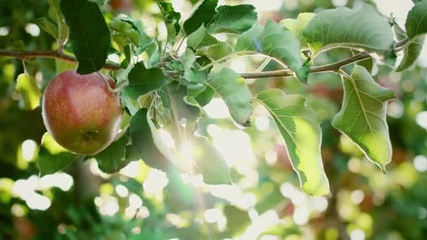 Mans kézzel szedés alma az almás gyümölcsösben