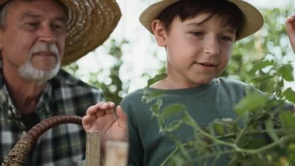 Video eines Jungen, der zusammen mit seinem Großvater Tomaten sammelt. Aufnahme mit roter Heliumkamera in 8K.