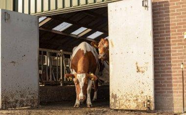Two cows looking around the corner of a barn door.