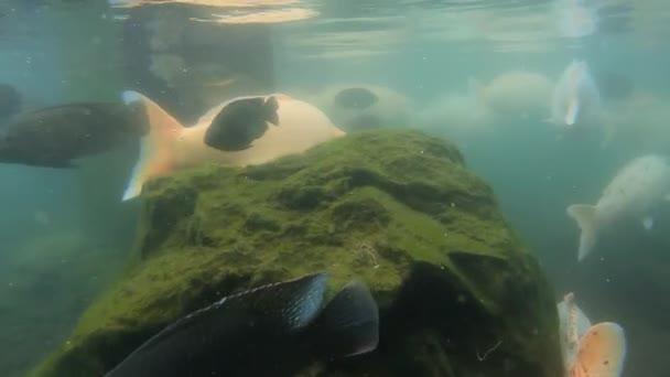 Podvodní video záběry obrovského hejna mořských kaprů ryb v zelené vodě