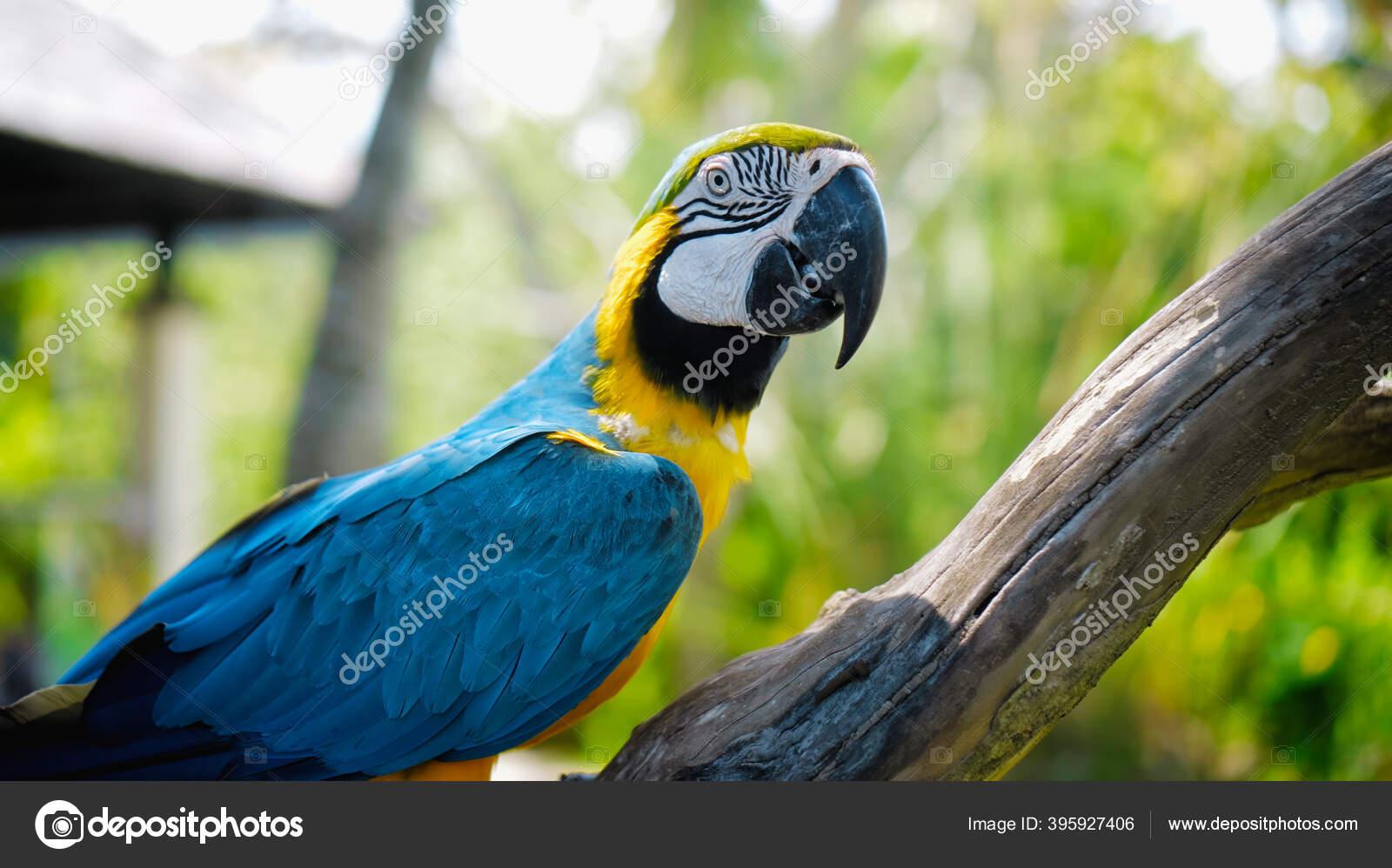 Burung Beo Ara Dengan Bulu Kuning Dan Biru Habitatnya Yang Stok Foto C Nicola Dj Mail Ru 395927406